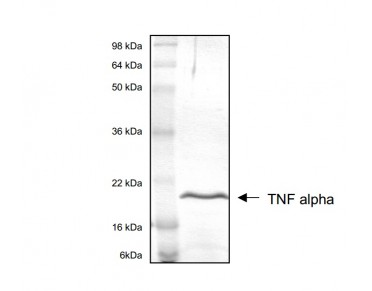 Tumour Necrosis Factor Alpha Protein (OPRB00048) in TNF alpha using Western Blot