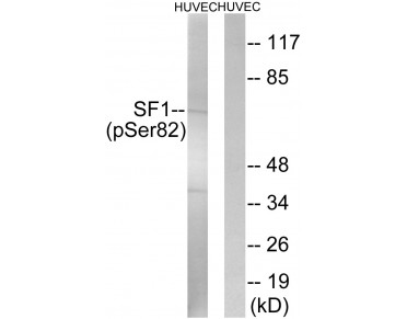 SF1 Antibody (Phospho-Ser82) (OAAF00111) in HuvEc using Western blot.