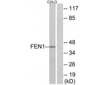FEN1 Antibody (OAAF02255) in COLO205 using Western blot.