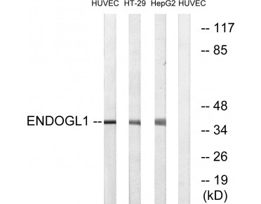 EXOG Antibody (OAAF03642) in HuvEc/HT-29/HepG2 using Western blot.