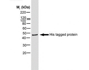 STREPTAVIDIN:HRP Accessory Reagent (OOSA09695) in mouse histidine tag using Western Blot